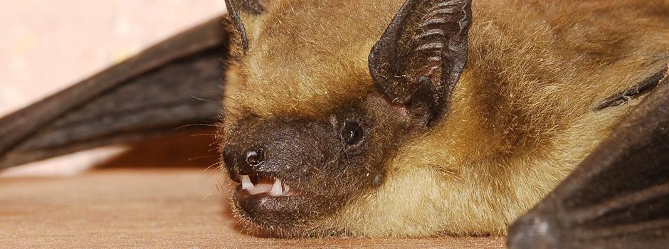 Newburg Bat Control