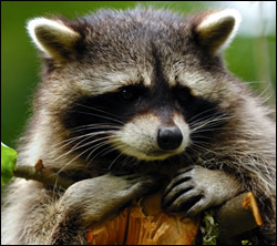 Raccoon control in Newburg