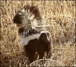Skunk control in Newburg